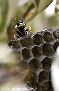 Per què són hexagonals els nius de les vespes?