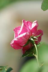 Roses, de Carly Lesser