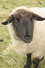 """""""Sheep"""", de Ross Hawkes"""
