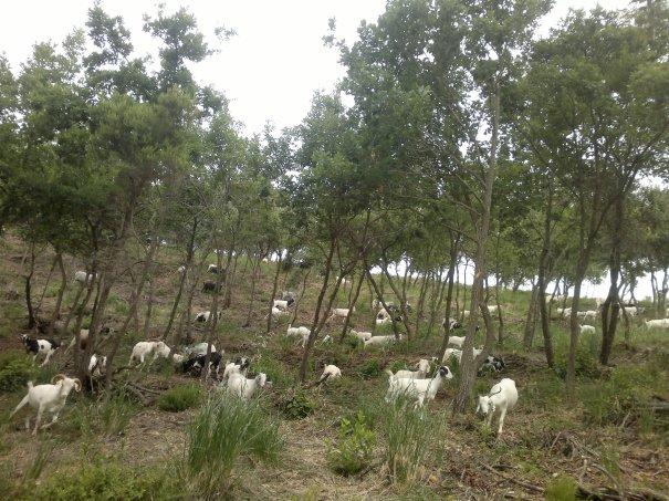 #1catala1cabra, campanya en defensa d'una gestió sostenible del bosc