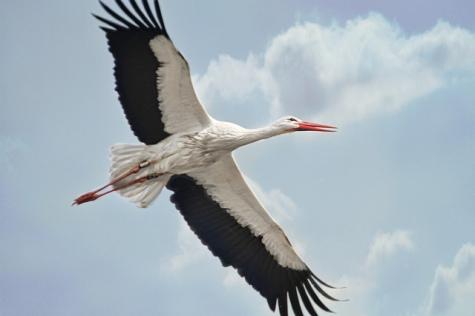 """Stork #3 - In flight"", de Linda (jinterwas) al Flickr"