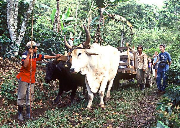 """""""Oxcart on Fairtrade plantation"""", Peter Mulligan, Flickr"""
