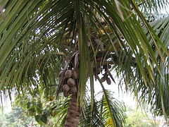 """Coconut tree"", de Technofreak, Flickr"