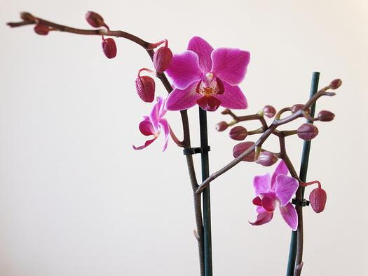 """""""7dcp2111117-phalaenopsis"""", de Wofgang Lonien, Flickr"""