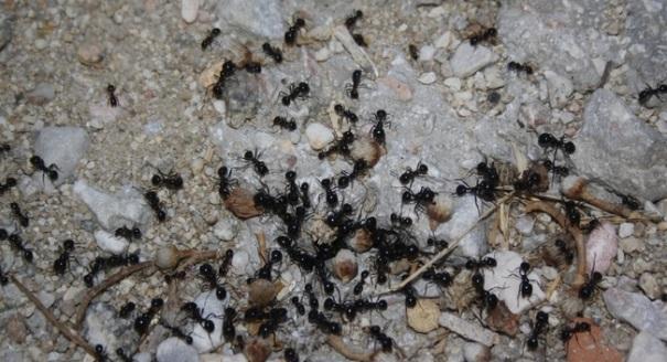 Formigues, de la Núria, Flickr